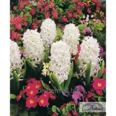 Bulbs of hyacinths of Carnegie 37184