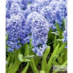 Bulbs of hyacinths of Delft Blue 37182
