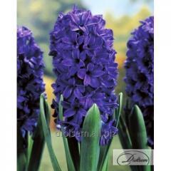 Bulbs of hyacinths of Marie 37187