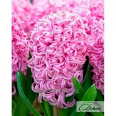 Bulbs of hyacinths of Pink Surprise 35165