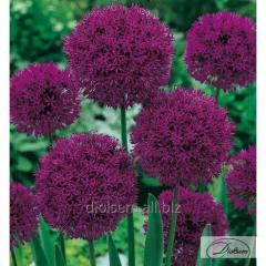 Bulbs of decorative Purple Sensation 37191 onions