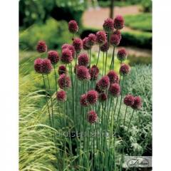 Bulbs of decorative Sphaerocephalon 37192 onions