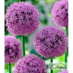 Bulbs of decorative Gladiator 12326 onions