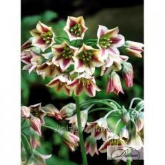 Луковицы декоративного лука Nectaroscordum Siculum