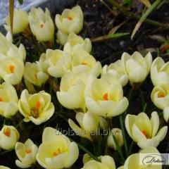Bulbs of crocuses of Cream Beauty 37177