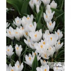 Bulbs of crocuses of Jeanne d'Arc 12350