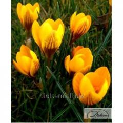 Bulbs of crocuses of Dorothy 12361