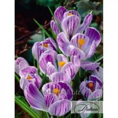 Bulbs of crocuses of Pickwick 12351