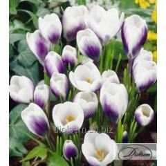 Bulbs of crocuses of Prins Claus 12356