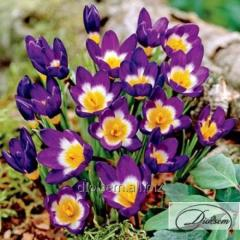 Bulbs of crocuses of Sieberi Tricolor 37178