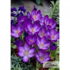 Bulbs of crocuses of Ruby Giant 12365