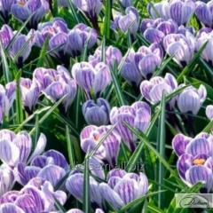 Bulbs of crocuses of Striped 37173