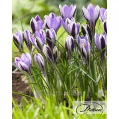 Bulbs of crocuses of Spring Beauty 12363