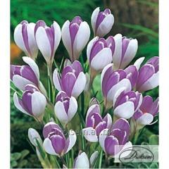 Bulbs of crocuses of Vanguard 12354