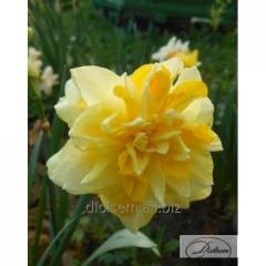 Bulbs narcissus of Sweet Pomponette 12272