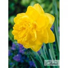 Bulbs Eastertide 12265 narcissus
