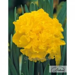 Bulbs Fluyer 12284 narcissus
