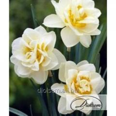 Bulbs Manly 12266 narcissus