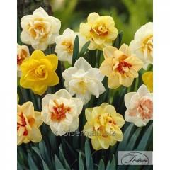 Bulbs Mixed 12267 narcissus