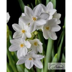 Bulbs narcissus of Paper White Ziva 12294