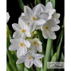 Bulbs narcissus of Paper White Ziva 12294