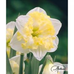 Bulbs Printal 12281 narcissus