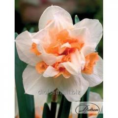 Bulbs Replete 37156 narcissus