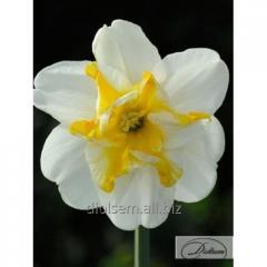 Bulbs narcissus of Sunset Serenade 12285