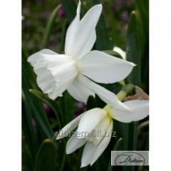 Bulbs Tahlia 35141 narcissus