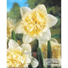 Bulbs narcissus of Ice King 37161