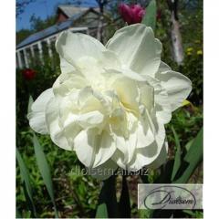 Bulbs Obdam 12268 narcissus
