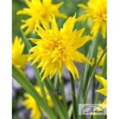 Bulbs narcissus of Rip Van Winkle 35142
