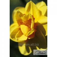 Bulbs narcissus of Tamar Fire 12270