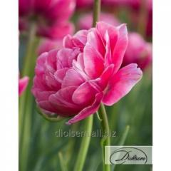 Луковицы тюльпана Aveyron 12228