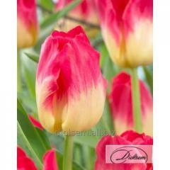Луковицы тюльпана Match 12097