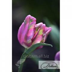 Луковицы тюльпана Rai 35081