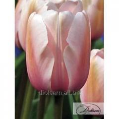 Луковицы тюльпана Salmon Prince 12025