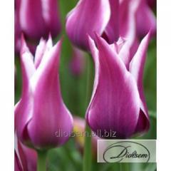 Луковицы тюльпана Ballade 12141