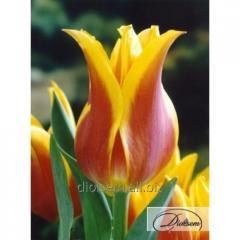 Луковицы тюльпана Ballade Dream 37097
