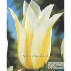Луковицы тюльпана Lily Sweet 12143