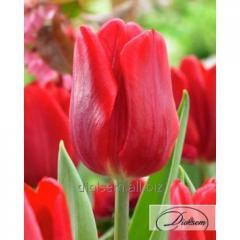 Луковицы тюльпана Ruby Prince 12033