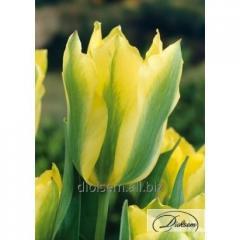 Луковицы тюльпана Yellow Spring Green 12180