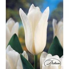 Луковицы тюльпанаn White Emperor 12018