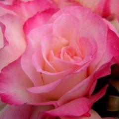 Роза сорт Абигайл Спрей