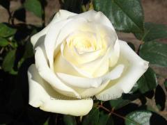 Roses of a grade of Anastasius