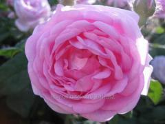 Роза чайная Принцесса Александра