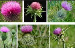 The thistle is spotty