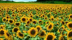 The sunflower is oily
