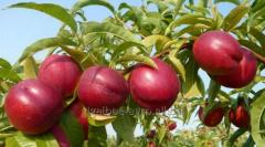 Персики Нектарин