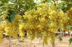 Виноград столовый